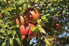 Free Pomegranates Stock Photos - 24457333