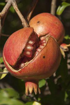 Free Pomegranates Royalty Free Stock Photos - 24457338