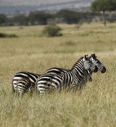 Free Zebra Family Royalty Free Stock Photo - 24457365