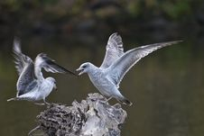 Free Seagulls Fighting Royalty Free Stock Photography - 24459057