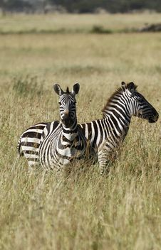 Free Burchell S Zebras Stock Photos - 24460733