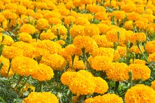 Free Group Of Orange Flower Royalty Free Stock Images - 24469499