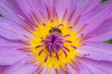 Free One Bee On Yellow Violet Lotus Closeup Royalty Free Stock Photo - 24469665