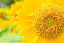 Free Part Of Sunflower Royalty Free Stock Photography - 24469807