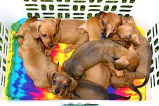 Free Basket Of Dachshund Pups Royalty Free Stock Photos - 24477468
