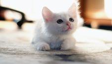 Free White Kitten Stock Image - 24477631