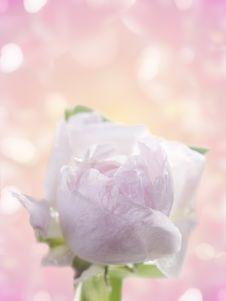Free Fresh Rose Royalty Free Stock Photo - 24479205