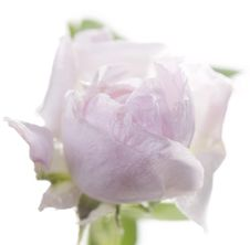 Free Fresh Rose Stock Photo - 24479310