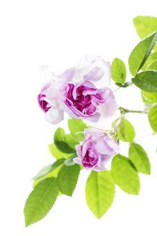 Free Fresh Rose Stock Photo - 24479320