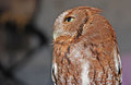 Free Eastern Screech Owl Red Stock Photo - 24480660