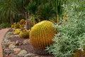 Free Round Prickly Cactus On The Dry Soil Royalty Free Stock Photos - 24482508