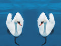Free Swimming Swans Royalty Free Stock Images - 24486599
