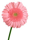 Free Pink Gerbera Flower Royalty Free Stock Photography - 24488077