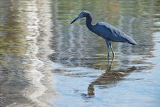 Free Little Blue Heron Wading In Water Stock Photos - 24480663