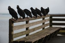 Free Black Vultures On Bench Stock Image - 24480681