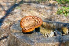 Mushrooms Are Growing On A Stump. Stock Photography