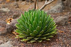 Free Round Prickly Cactus On The Dry Soil Stock Images - 24483164