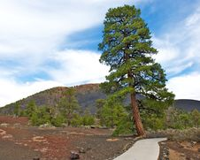 Free Lone Tree At Sunset Crater National Park. Stock Photography - 24485102