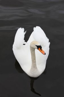 Free Swan Stock Images - 24486584
