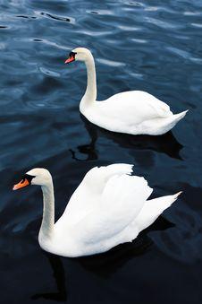Swimming Swans Royalty Free Stock Photos