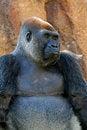 Free Gorilla Royalty Free Stock Photos - 24496858
