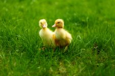 Free Small Ducklings Outdoor On Green Grass Royalty Free Stock Photos - 24490258