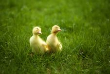 Free Small Ducklings Outdoor On Green Grass Royalty Free Stock Image - 24490296
