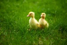 Free Small Ducklings Outdoor On Green Grass Stock Image - 24490361