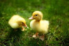 Free Small Ducklings Outdoor On Green Grass Stock Photography - 24490432