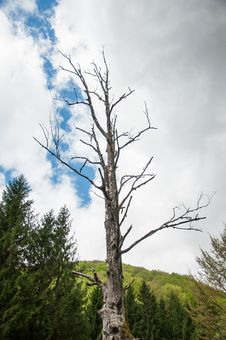 Lonely Dried Tree In A Green Forest Royalty Free Stock Photo