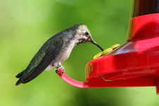 Free Hummingbird Royalty Free Stock Photography - 24496877