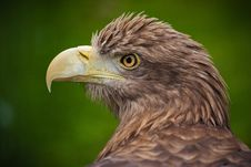 Free Eastern Eagle Royalty Free Stock Photo - 24497815
