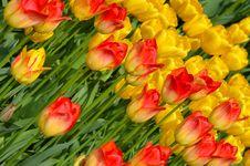 Free Orange And Yellow Tulips Royalty Free Stock Photos - 24499088