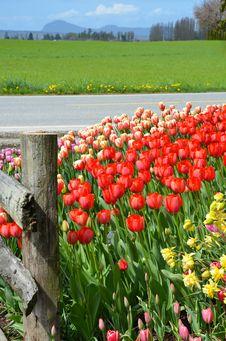 Free Tulip Highway Royalty Free Stock Photos - 24499098