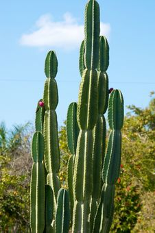Large Cactus Plant With Trees In The Background Stock Photography
