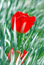 Free Red Tulip In Grass Royalty Free Stock Images - 2454729