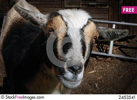 Free Nigerian Dwarf Goat Stock Image - 2453541