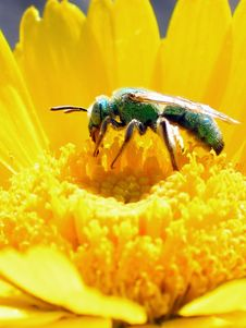 Green Bee Nectar Royalty Free Stock Photography