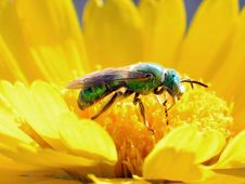 Green Bee Royalty Free Stock Images