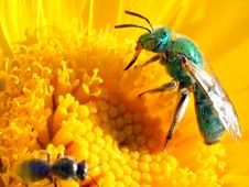 Green Bee & Friend Stock Photo