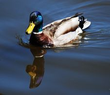 Free Duck Stock Images - 2450404