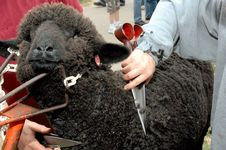 Free Black Sheep Sheared Stock Photo - 2451530