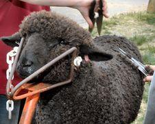 Free Shear Black Sheep Royalty Free Stock Photography - 2451607