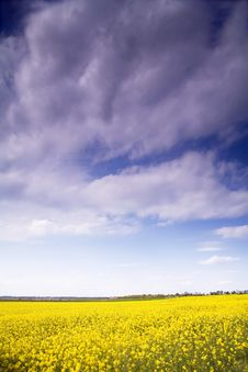 Free Rape Field Royalty Free Stock Images - 2451869