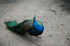 Free Peafowl Royalty Free Stock Image - 2452636