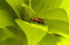Free Red Lily Leaf Beetle Bug Royalty Free Stock Image - 2453186