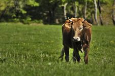 Free The Lone Cow Stock Photography - 2453632