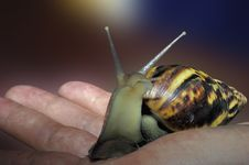 Free Big Garden Snail Crawling Along Human Hand Royalty Free Stock Photography - 2454357