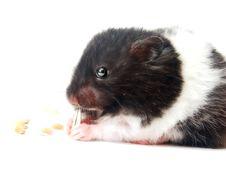 Free Hamster Stock Photo - 2454360