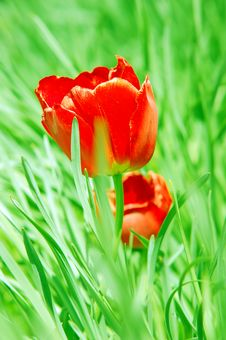 Free Red Tulip In Grass Royalty Free Stock Photos - 2454738